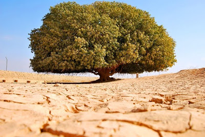 The Only Living Sahaabi Tree